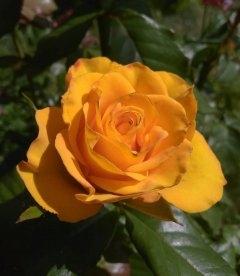 Rosa 'Kerio', Роза чайно-гибридная 'Керио'