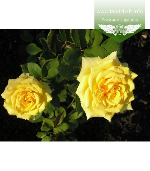 Rosa 'Kerio', Троянда чайно-гібридна 'Керіо'