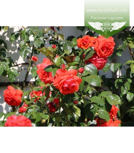 Rosa 'Salita', Троянда плетиста 'Саліта'
