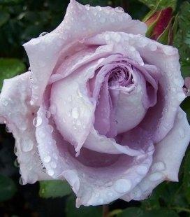 Rosa 'Blue Wonder', Троянда чайно-гібридна 'Блу Вандер'