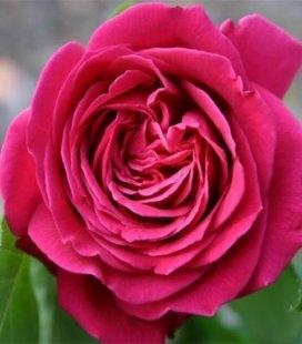 Rosa 'Domaine Dittiere', Троянда чайно-гібридна 'Домейн Дітьєр'