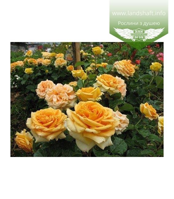 Rosa 'Cappuccino', Троянда чайно-гібридна 'Капучіно'