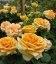 Rosa 'Cappuccino', Роза чайно-гибридная 'Капучино'