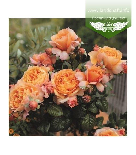 Rosa 'Capri', Роза чайно-гибридная 'Капри'