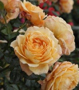 Rosa 'Capri', Троянда чайно-гібридна 'Капрі'
