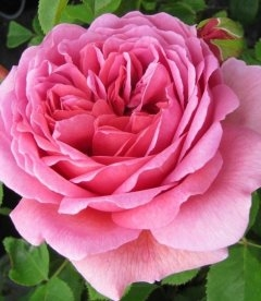 Rosa 'Princess Alexandra of Kent', Троянда англійська 'Прінцес Александра оф Кент'
