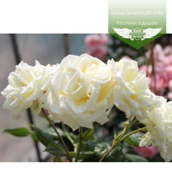 Rosa 'Elfe', Троянда плетиста 'Ельф'
