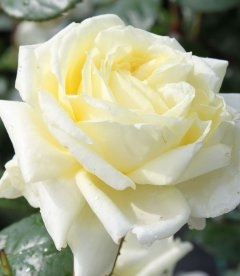 Rosa 'Elfe', Роза плетистая 'Эльф'