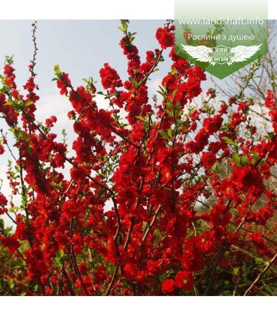 Chaenomeles speciosa 'Scarlet Storm', Айва прекрасна 'Скарлет Сторм'
