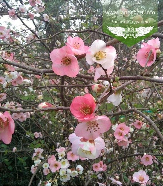 Chaenomeles speciosa 'Toyo-Nishiki', Айва прекрасна 'Тойо-Нішікі'