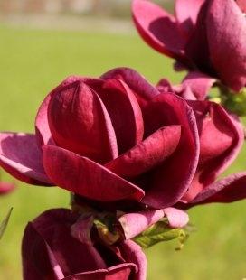 Magnolia 'Genie', Магнолія 'Джіні'