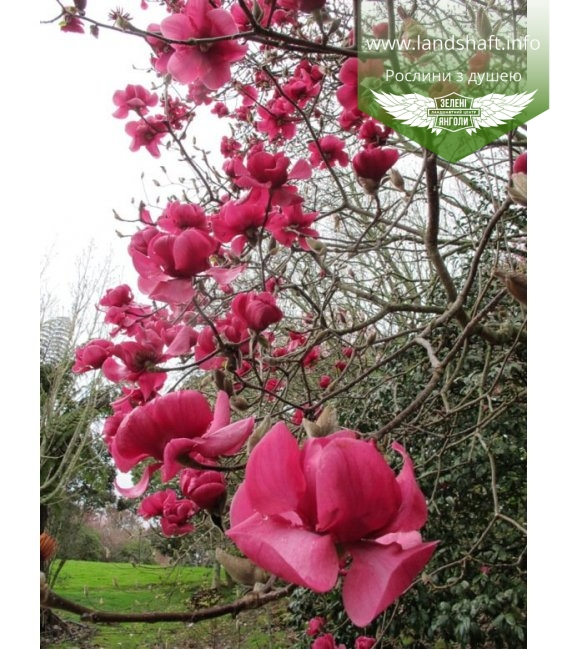 Magnolia 'Genie', Магнолия 'Джинни'