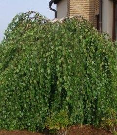 Betula pendula 'Youngii', Береза повисла Юнга