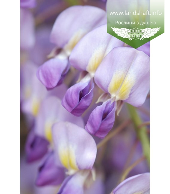 Wisteria floribunda 'Issai/Domino', Гліцинія рясно квітуча 'Ісай / Доміно'