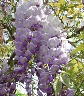 Wisteria floribunda 'Issai/Domino', Глициния обильно цветущая 'Исай / Домино'