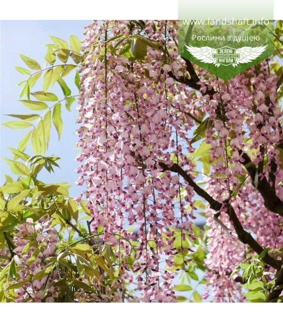 Wisteria floribunda 'Rosea (syn. Honbeni)', Глициния обильноцветущая `Розеа (син. Хонбени)`
