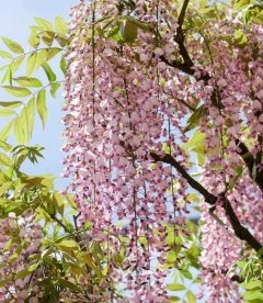 Wisteria floribunda 'Rosea/Honbeni', Гліцинія рясноквітуча 'Розеа/Хонбені'
