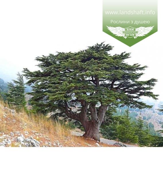 Cedrus libani, Кедр Ліванський