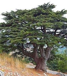 Cedrus libani, Кедр Ливанский