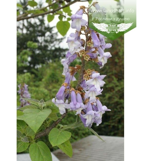 Paulownia tormentosa, Павловнія повстяна