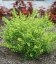 Betula nana 'Golden Treasure', Береза карликовая 'Голден Трежер'