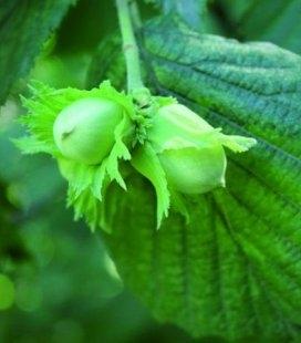 Corylus avellana 'Tonda di Giffoni', Ліщина європейська (фундук) 'Тонда ді Джіффоні'