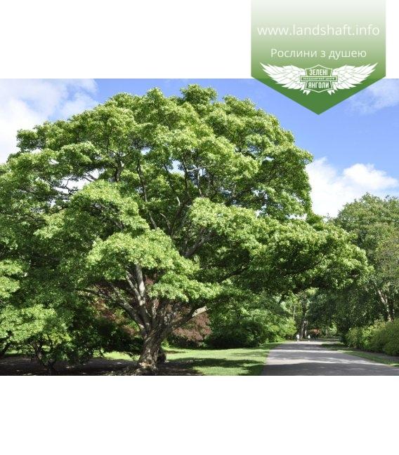 Acer mono, Клен мелколистный