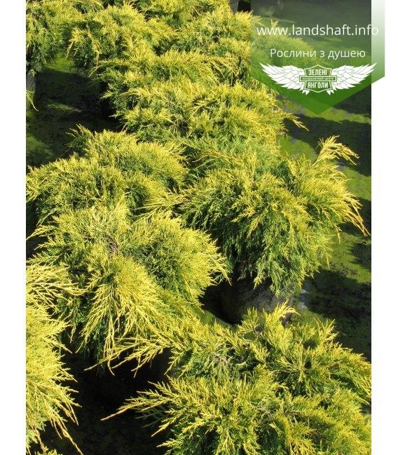 Juniperus x media 'King of Spring', Ялівець середній 'Кінг оф Спрінг'