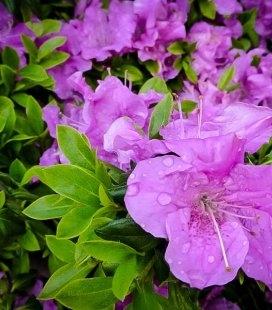 Rhododendron Encore 'Lila', Рододендрон 'Ліла'