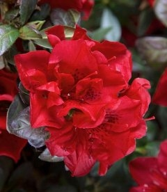 Rhododendron Encore 'Autumn Fire', Рододендрон 'Отм Файр'