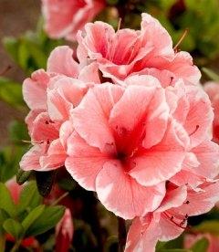 Rhododendron Encore 'Autumn Sunburst', Рододендрон 'Отм Санбьорст'