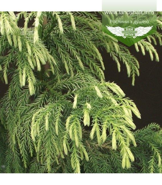 Cryptomeria japonica 'Sekkan Sugi', Криптомерія японська 'Секкан Сугі'