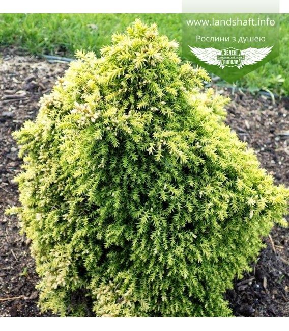 Cryptomeria japonica 'Twinkle Toes', Криптомерия японская 'Твинкл Тоз'