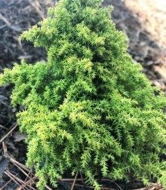 Cryptomeria japonica 'Twinkle Toes', Криптомерія японська 'Твінкл Тоз'
