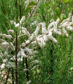 Tamarix ramosissima 'Hulsdonk White', Тамарикс ветвистый 'Халсдонк Вайт'