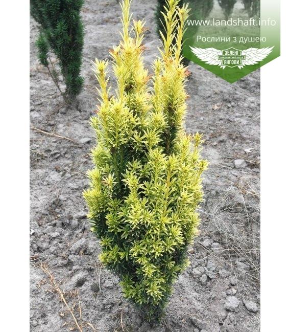 Taxus baccata 'Ivory Tower', Тис ягодный 'Айвори Тауэр'