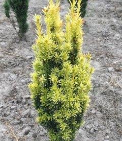 Taxus baccata 'Ivory Tower', Тис ягідний 'Айворі Тауер'