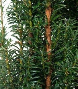 Taxus baccata 'Litfass', Тис ягідний 'Літфас'