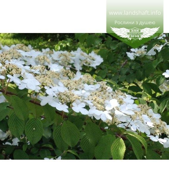 Viburnum plicatum 'Shasta', Калина складчатая 'Шаста'