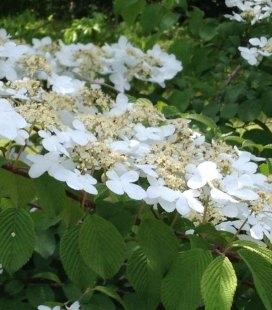 Viburnum plicatum 'Shasta', Калина складчаста 'Шаста'