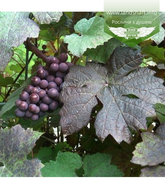 Vitis vinifera 'Purpurea', Виноград 'Пурпуреа'