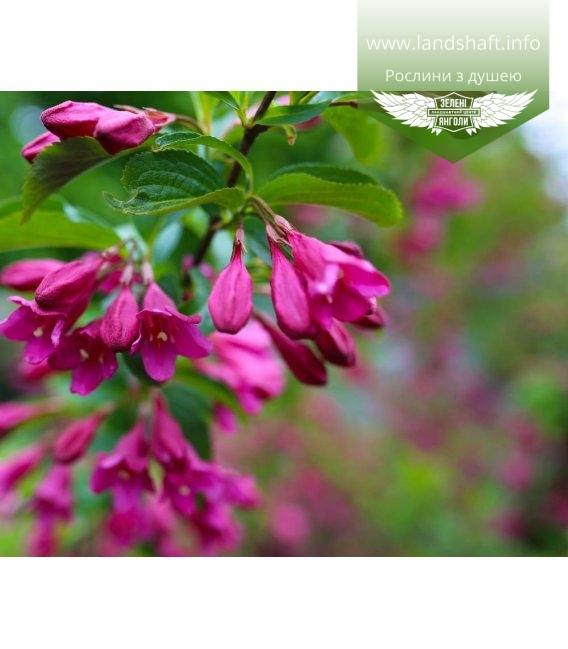 Weigela florida 'Korea', Вейгела квітуча 'Кореа'
