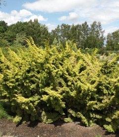 Juniperus chinensis 'Plumosa Aurea', Можжевельник китайский 'Плюмоза Ауреа'