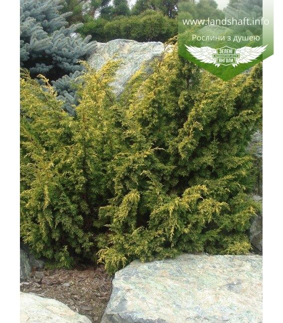 Juniperus chinensis 'Plumosa Aurea', Ялівець китайський 'Плюмоза Ауреа'