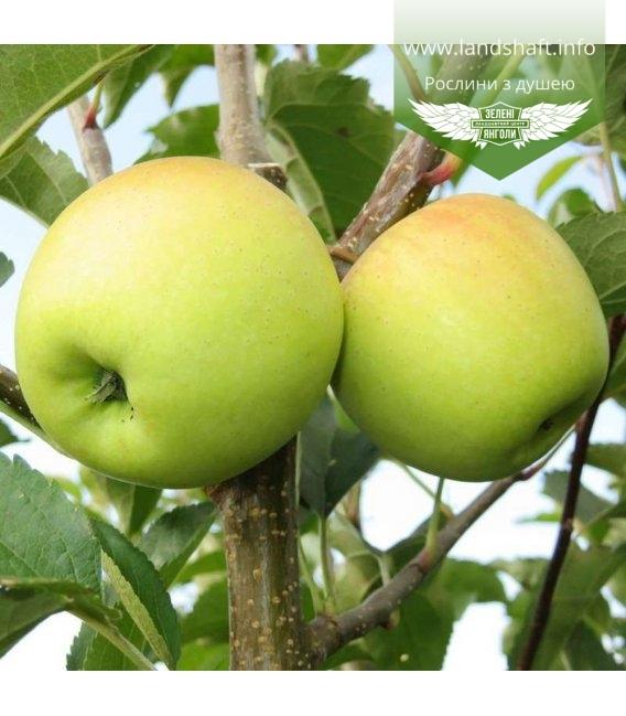 Malus domestica 'Golden Delicious', Яблуня 'Голден Делішес'