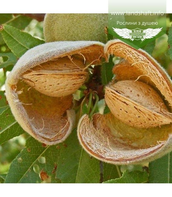 Amygdalus communis 'Desertny', Миндаль сладкий 'Десертный'