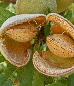 Amygdalus communis 'Desertny', Мигдаль солодкий 'Десертний'