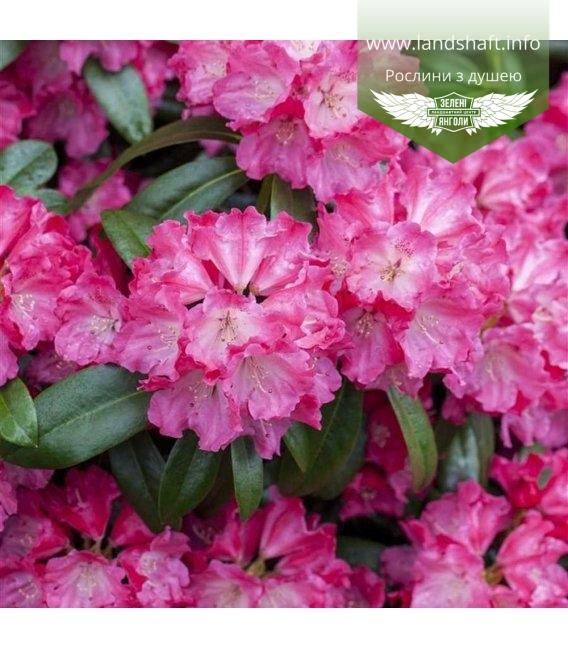 Rhododendron 'Germania', Рододендрон 'Германія'