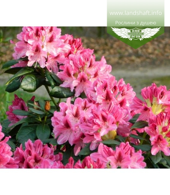 Rhododendron 'Cosmopolitan', Рододендрон 'Космополитан'