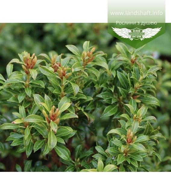 Pieris japonica 'Minor', Пиерис японский 'Минор'